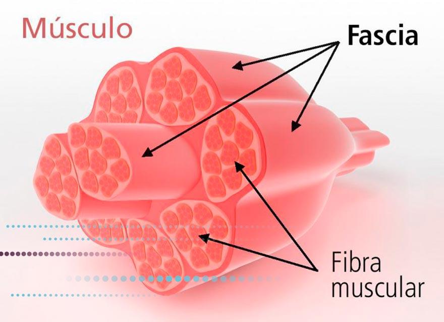 Descripción del músculo